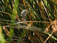 Least Bittern fledgling (npaprock) Tags: ixobrychusexilis ixobrychus bittern leastbittern arizona