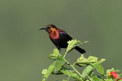 Cinnyris cupreus ♂ (Copper Sunbird) - Isunga, Uganda. (Nick Dean1) Tags: animalia chordata aves passerine passeriformes cinnyriscupreus coppersunbird kibale uganda kibalenationalpark isunga