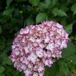 Au jardin, les rois de l'été hydrangea macrophylla, Bosdarros, Béarn, Pyrénées Atlantiques, Nouvelle-Aquitaine, France. thumbnail