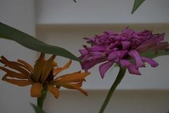 jdy217XX20180805a6835Bias-1.3 stops.jpg (rachelgreenbelt) Tags: ghigreenbelthomesinc orderasterales usa subfamilyasteroideae greenbelt northamerica midatlanticregion familyasteraceae eudicots asteridsclade campanulidsclade supertribehelianthodae maryland americas zinniaelegans magnoliophyta asterfamily asteraceae asteraceaefamily asterales asteralesorder asterids asteroideae asteroideaesubfamily asters compositaefamily compositefamily daisyfamily floweringplants heliantheae heliantheaetribe helianthodae helianthodaesupertribe spermatophytes sunflowerfamily tribeheliantheae