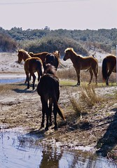 Wild Ponies of Corolla (phthaloblu) Tags: wildponies corolla outerbanks obx outerbanx dunes sand water beach nc northcarolina usa