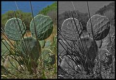 """""""MICKEY MOUSE CACTUS""""-DIPTYCH (LitterART) Tags: mickymaus ohrwaschelkaktus mickymouse comics waltdisney mickeymouse disney mickey nikon d800 nikond800 fx ohrenkaktus ohren opuntie kaktus cactus pricklypear opuntia kaktee ears diptychon diptych pareidolia pareidolie"""