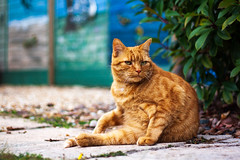 Paddy | Distracted (James_Beard) Tags: paddy cat cute fluffy gingertom ginger gingercat garden canon1000d canon50mmf18 niftyfifty ake thattake