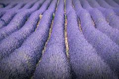 rivière purple (Rafael Zenon Wagner) Tags: lavendel provence frankreich linien formen rohr pflanze nikon d810 200mm lavender france lines forms tube plant
