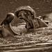Common Hippos - Kenya