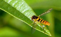 fly on a basil leaf (chasdobie) Tags: bug fly insect basil leaf green garden lanarkcounty ontario canada rural macro nikon