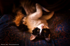_DSC3969 (Pascal Rey Photographies) Tags: chat chatte cat gato gatto katze animaux animalerie animals animales animali fauteuil armchair coussin pascalrey nikon d700 luminar2018 pascalreyphotographies photographiecontemporaine photos photographie photography photograffik photographiedigitale photographienumérique photographierurale sépia sepia