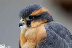 Aplomado Falcon 1 (Mike House Photography) Tags: bird prey falcon eagle hawk talons beak wings flying flight fly yellow green brown white eyes sharp meat eater tail tips conservation wildlife animal photography