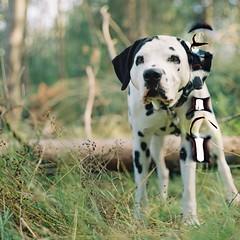# (alex//b) Tags: 2018 pentaconsixtl vebpentacondresden mittelformat mediumformat analog film kodakportra800 120 6x6 square sachsen moritzburg dresden hund dog tier animal dalmatiner dalmatian