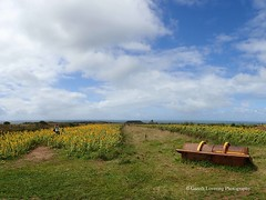 Sunflowers at Rhossilli 2018 08 16 #7 (Gareth Lovering Photography 5,000,061) Tags: sunflowers rhossili gower nationaltrustwales nationaltrust swansea outstanding landscape seascape beautiful beach seaside olympus tg5 garethloveringphotography