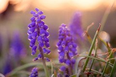Spring Perennials (Caitlin Worth) Tags: spring colors purple flowers sonya99 nature