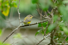 Magnolia Warbler-4237.jpg (Mully410 * Images) Tags: bird birdwatching birding backyard magnoliawarbler warbler birder birds