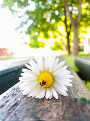 Different times (Nenad Bogoevski Photos) Tags: flower bench yeallow green trees bug