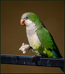 Cotorra común o Catita (Totugj) Tags: cotorra común catita aves argentinas birds pájaros nikon d7500 nikkor 55300mm teleobjetivo buenos aires reserva ecológica costanera sur