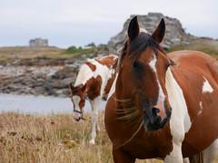 (An Arzhig) Tags: chevaux horses batz bretagne finistère france panasonic lumix gx800 mer