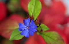 Ceratostigma plumbaginoides - Blue Leadwort (HansHolt) Tags: ceratostigmaplumbaginoides blueleadwort leadwort loodkruid falsoplumbago bleiwurz dentelairedeladylarpent flower bloem blue green red macro bokeh canon 6d 100mm canoneos6d canonef100mmf28macrousm
