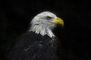 Rescued Eagle - Luminar2018