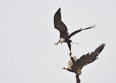 DSC_3251_edit_01 (Hanzy2012) Tags: tofino wildlife bird baldeagle pacificrimnationalpark combersbeach haliaeetusleucocephalus bc britishcolumbia vancouverisland canada nature wild