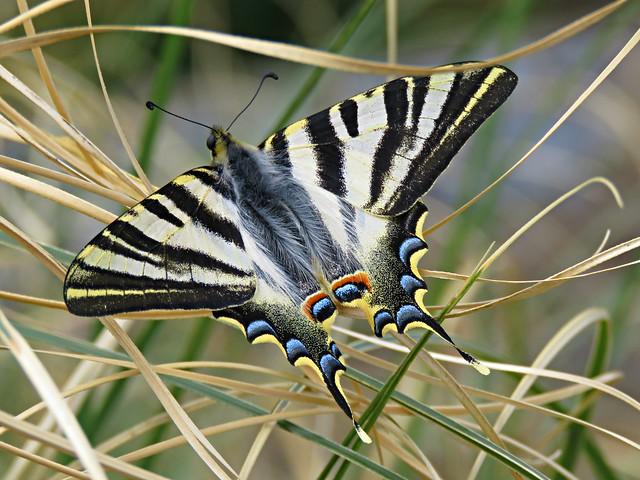 Southern Scarce Swallowtail!