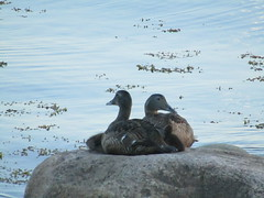 duck family (VERUSHKA4) Tags: canon europe russia nord northerneurope whitesea vue view coast arkhangelskyregion solovetskyarchipelago island solovetskyislands nature animal bird duck duckling water rock stone couple two family summer travel summertime july
