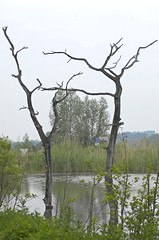 Swamp lake in the nature reservation: dead trees (Manfred_H.) Tags: nature reservation bäume trees abgestorben dead deadstandingtrees see sumpf swamp lake teich hydrophilic wasserliebend