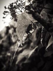 Hidden agenda (J.C. Moyer) Tags: garden spider araneusdiadematus lumix panasonicdmcgx80 spidersilk gothic rustic blackandwhite macro fauna flora plant leaf leaves nature insect arachnid