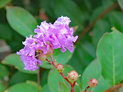 Crape Myrtle Macro. (dccradio) Tags: lumberton nc northcarolina robesoncounty outdoor outside outdoors greenery crepemyrtle crapemyrtle purple lavender leaves leaf plant flower floral flowers bloom blossom blossoming flowering floweringtree macro nature natural