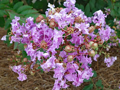 Crape Myrtle In Bloom. (dccradio) Tags: lumberton nc northcarolina robesoncounty outdoor outside outdoors greenery crepemyrtle crapemyrtle purple lavender leaves leaf plant flower floral flowers bloom blossom blossoming flowering floweringtree macro nature natural