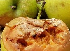 Decay-Macro Monday (katy1279) Tags: decay macromondays appleswindfallbugsinsectsfeastfeastfeast