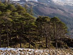Cruach Wood - Loch Eck Feb 2018 (GOR44Photographic@Gmail.com) Tags: wood cruachwood loch eck trees hills argyll cowal scotland gor44 green snow winter olympus omdem5 highlands mountains 45150mmf456