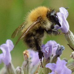 🐝 (Sandyslifethroughalens) Tags: bee savethebees actionshot insectphotography insect wildlifephotography wildlife nature naturephotography amateurphotography eveningphotography mygarden lavender zoomedin