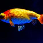 Celestial Eye (Goldfish)  of Sumida Aquarium in Tokyo Sky Tree Town : チョウテンガン(東京スカイツリータウン・すみだ水族館) thumbnail