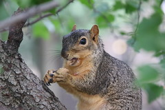 Squirrels in Ann Arbor at the University of Michigan (August 8th & 9th, 2018) (cseeman) Tags: gobluesquirrels squirrels annarbor michigan animal campus universityofmichigan umsquirrels08092018 summer eating peanut augustumsquirrel foxsquirrels easternfoxsquirrels michiganfoxsquirrels universityofmichiganfoxsquirrels
