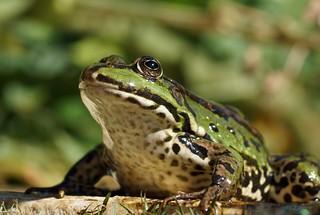 Frosch / frog (4)