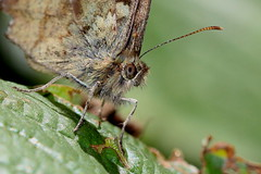 Big brown eyes 010718 IMG_0312 (clavius2) Tags: butterfly speckled wood pararge aegeria antennae eye wings brown cream markings marden quarry whitley bay north east england uk insect macro