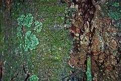 Lichen on jack fruit tree (LarryJay99 ) Tags: mountsbotanicalgardens nature westpalmbeach florida plants foliage urbanvegetation tree lichen greenery jackfruit treebark bark