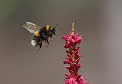 Bee (La_Wildlife) Tags: bee bumblebee macro insect pollinate nature wildlife inflight ngc