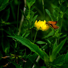 Yellow Dip (Portraying Life, LLC) Tags: dbg6 da3004 hd14tc k1mkii michigan pentax ricoh unitedstates butterfly closecrop handheld nativelighting skipper meadow flower floret