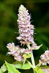 MIĘTA DŁUGOLISTNA (Mentha longifolia) 1 (goolary) Tags: flowers beskidy kwiaty przyroda góry