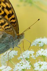 Argynnis paphia (moments in nature by Antje Schultner) Tags: argynnispaphia kaisermantel papillon butterfly schmetterling mariposa wiese natur nature makro macrophotography