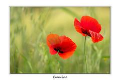 IMGP8582 (Francinen89) Tags: fleurs flowers coquelicot red rouge macro nature summer été