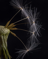 When Dandelions Become Art (tisatruett) Tags: ngc lowkey dandelion wildflower art seed nature macro
