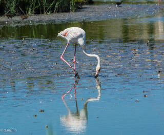 Flamant rose, flamingo