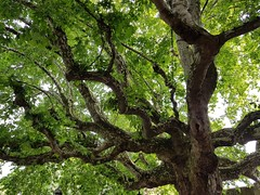 Old Tree in Strabourg (Silver Chew) Tags: europe old tree green scenery environment plant france strasbourg leaves