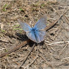 Common Blue (Huddsbirder) Tags: huddsbirder a6500 sony fe70300mm work commonblue butterfly