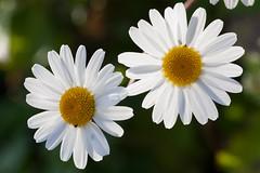(taleuxeric) Tags: fleurs fleur flowers floral macrophotography macrophoto