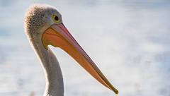 Australian Pelican (Pelecanus conspicillatus) (AWLancaster) Tags: pelican closeupbird eyes australianbird birdlife wow animal wildlife wetlands shepparton beautyinnature