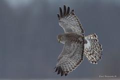Full flair (Earl Reinink) Tags: raptor bird animal hawk northernharrierhawk earl reinink earlreinink nature wildlife flight flying wings eye adedeaudha