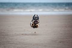 31/52 - When dogs fly! (Kirstyxo) Tags: teddy cute dog sweet fun beach actionshot flyingdog 3152 52weeksfordogs 52weeksfordogs2018 52weeksfordogs18