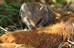 yellow mongoose Blijdorp JN6A9250 (j.a.kok) Tags: mangoest mongoose yellowmongoose vosmangoest mammal animal blijdorp zoogdier dier predator